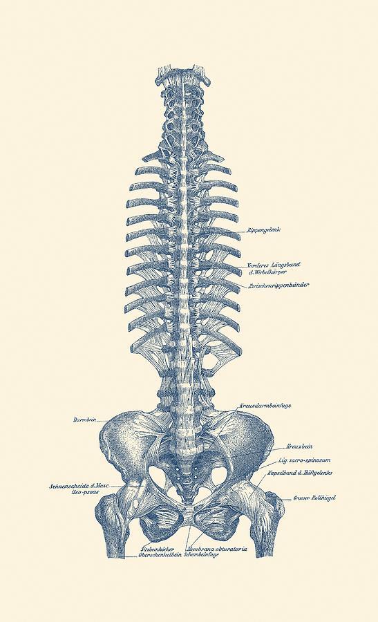 German Rib And Pelvis Diagram Vintage Anatomy Poster Drawing By