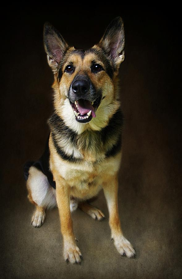 Dog Photograph - German Shepherd Dog Thor by Stephanie Calhoun