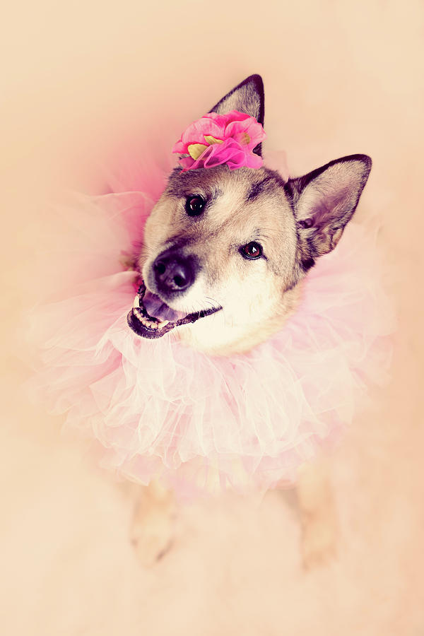 Vertical Photograph - German Shepherd Mix Dog Dressed As Ballerina by R. Nelson