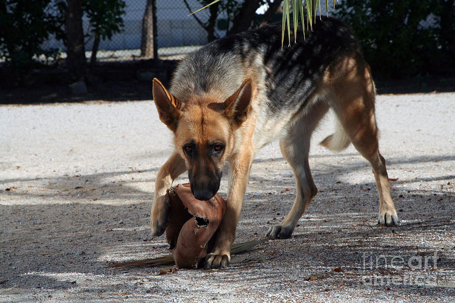 Adorable Photograph - German Shepherd Playing by Andre Goncalves