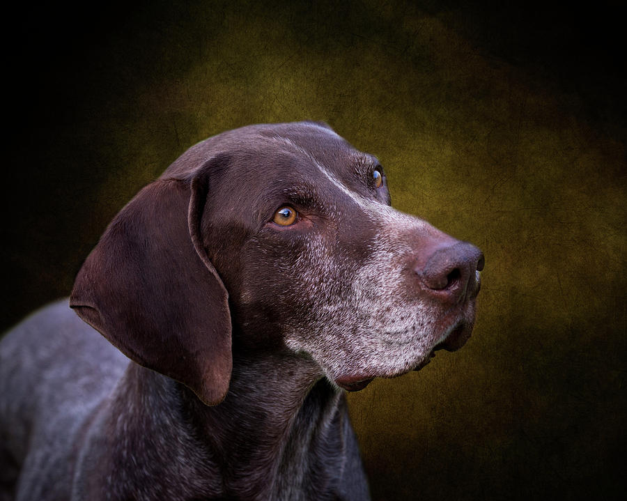 German Shorthaired Pointer Photograph - German Shorthaired Pointer by Diana Andersen