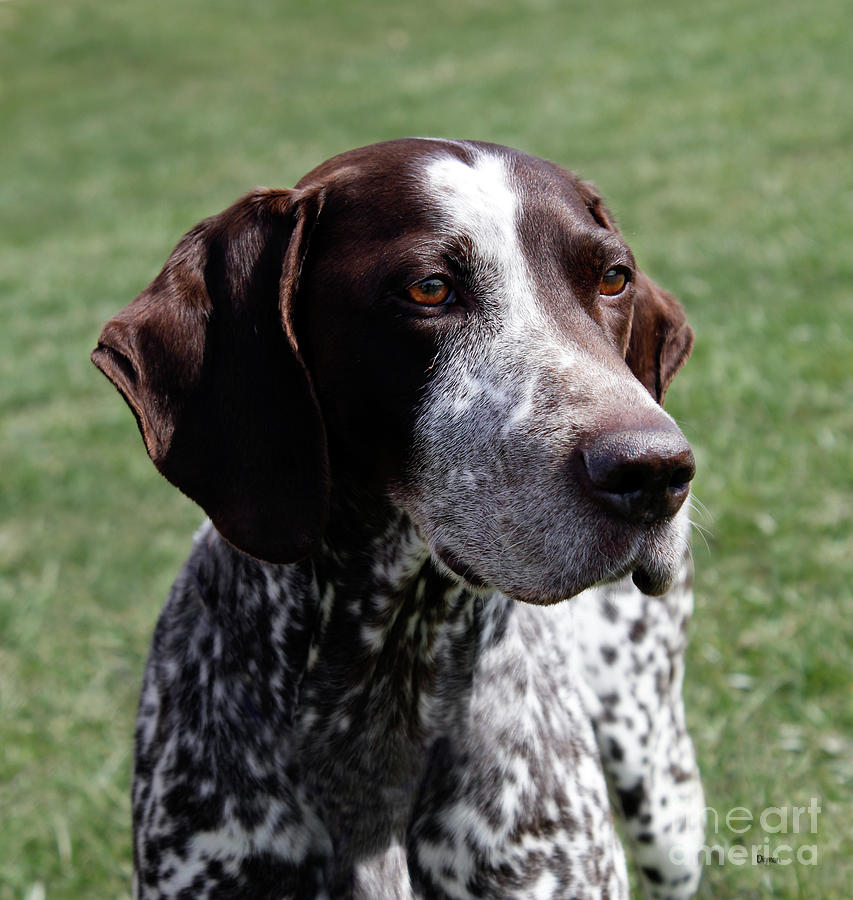 Dogs Photograph - German Shorthaired Pointer  by Steven Digman