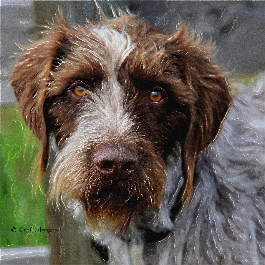 German Wirehaired Pointer Mixed Media by Kae Cheatham