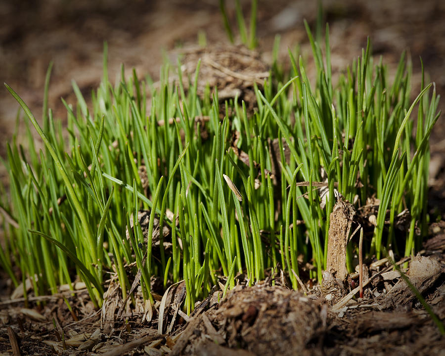Grass Photograph - Germination by Kelley King