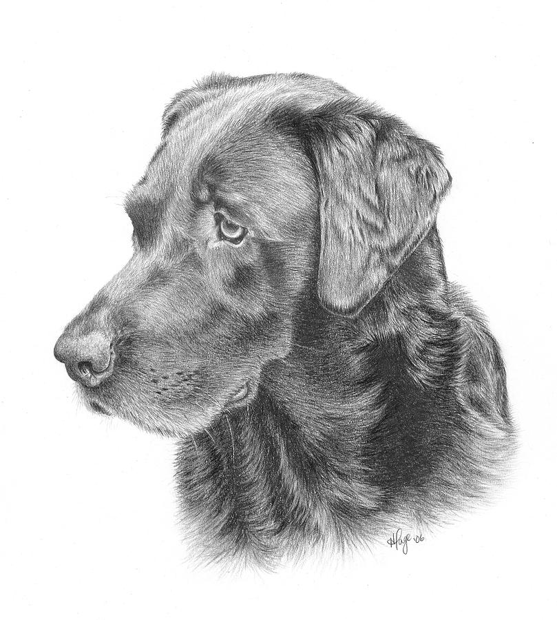 how to draw a yellow labrador retriever