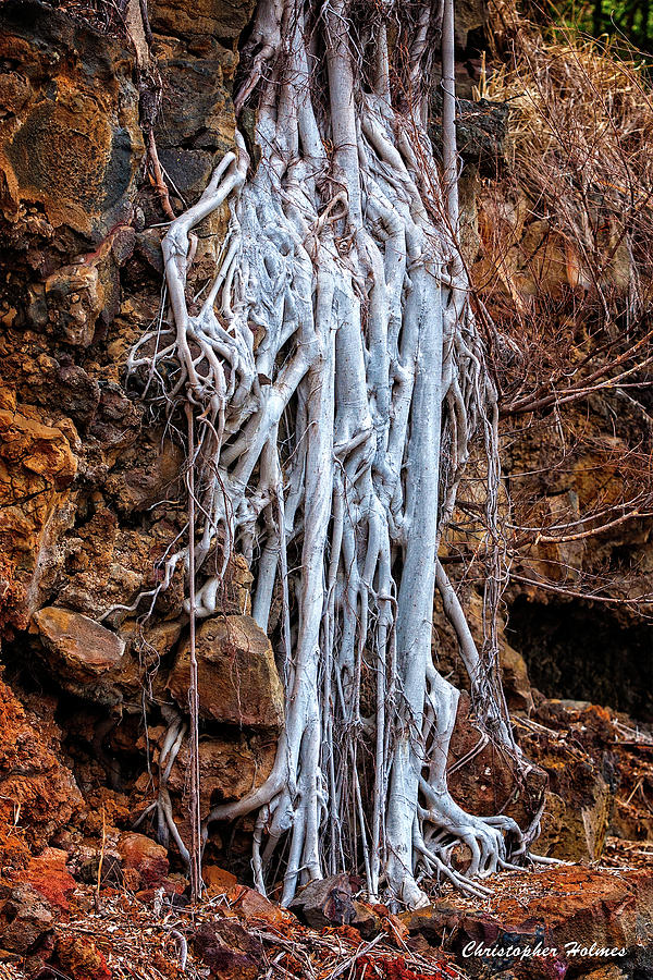 Roots Photograph - Ghostly Roots by Christopher Holmes