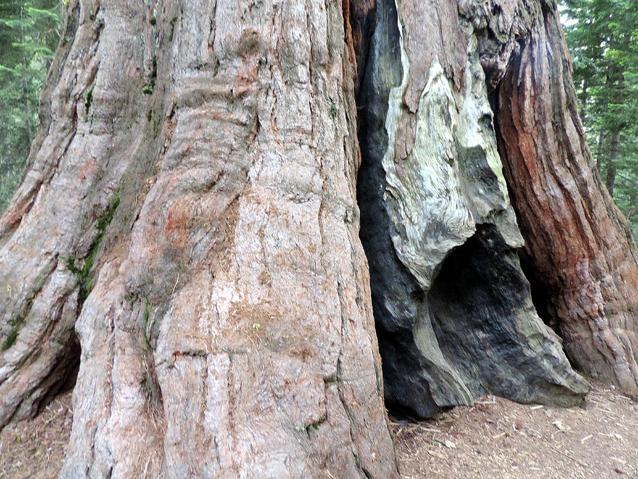 Tree Photograph - Giant 5 by Eric Forster