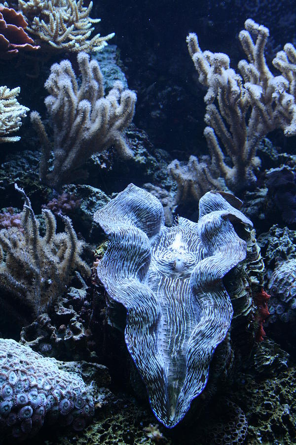 Clam Photograph - Giant Clam by Karl Reid