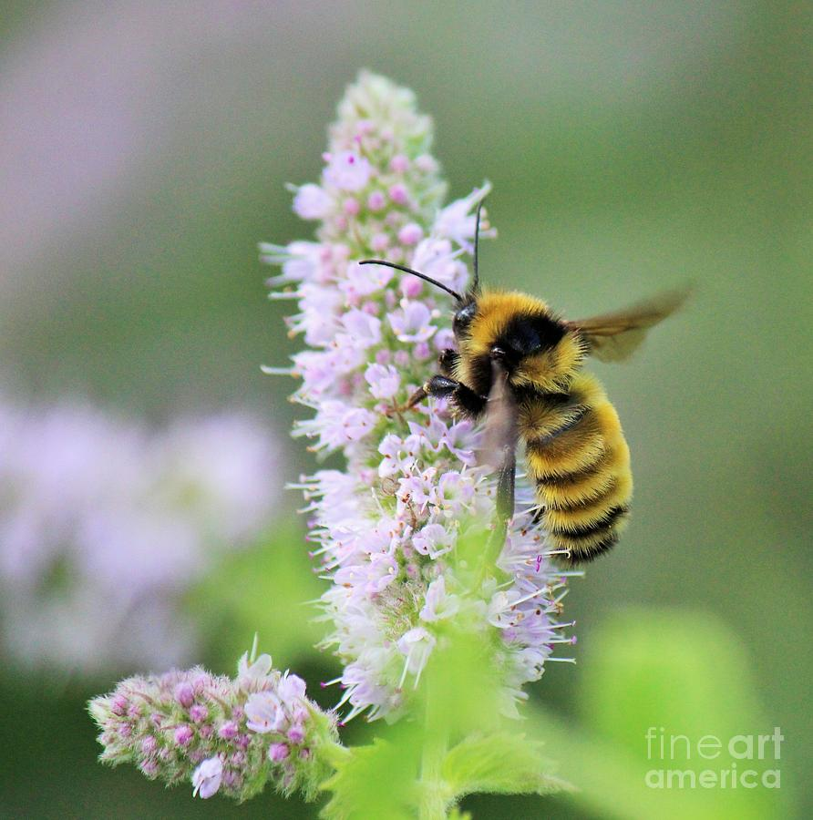 Black Bumble Bee >> Giant Fuzzy Bumble Bee On Mint