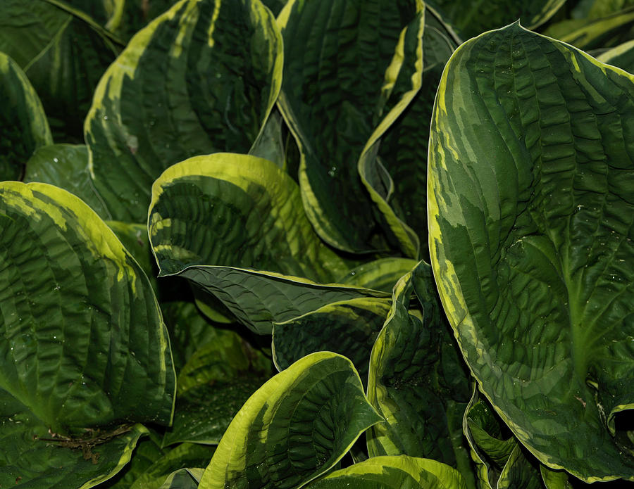 Giant Hosta Closeup by John Forde