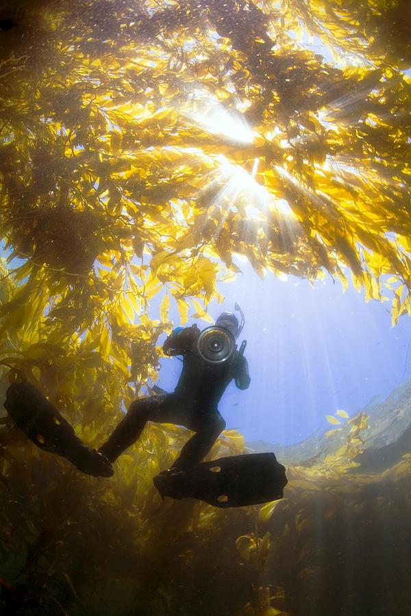 Giant Kelp Photograph - Giant Kelp Freediver by Bryan Toro