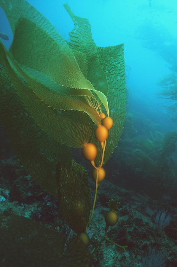 Macrocystis Pyrifera Photograph - Giant Kelp by Georgette Douwma
