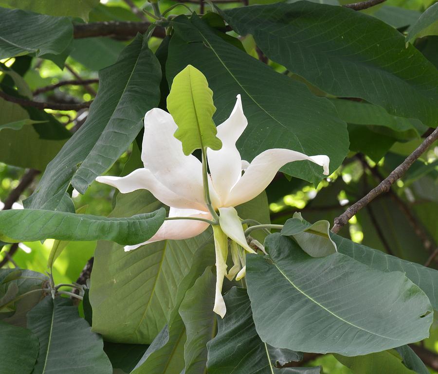 Giant Leaf Magnolia By Maria Urso