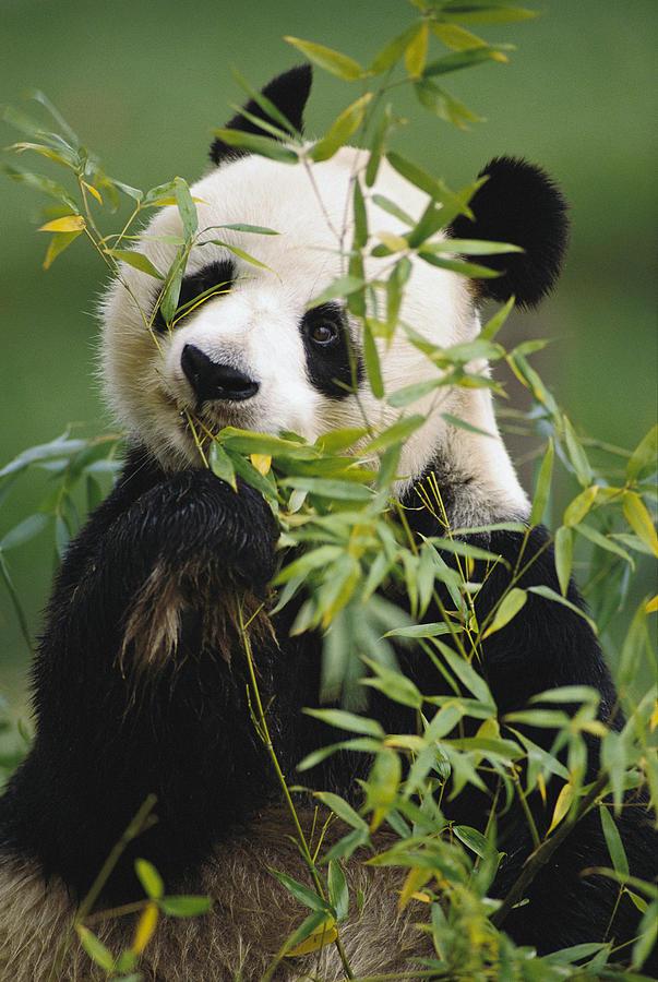 Giant Panda Eating Bamboo Photograph by Gerry Ellis