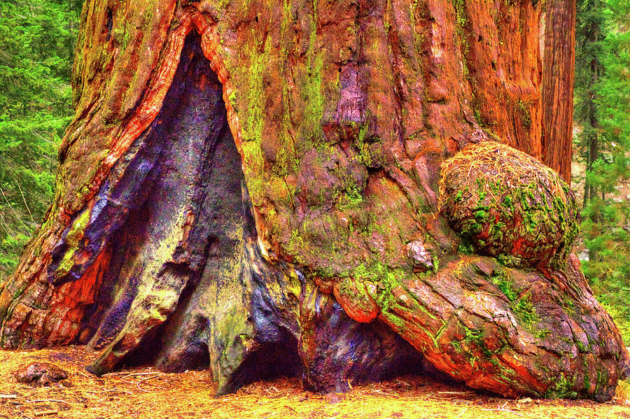 Giant Sequoia Base with Fire Scar by Roger Passman