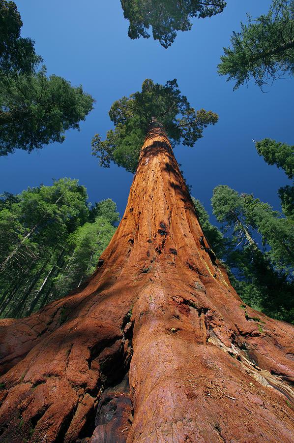 Giant Sequoia in Yosemite by Jeff Foott