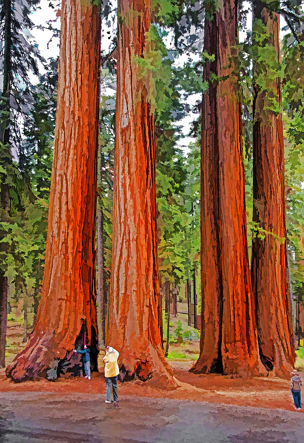 Usa Photograph - Giant Sequoias by Dennis Cox