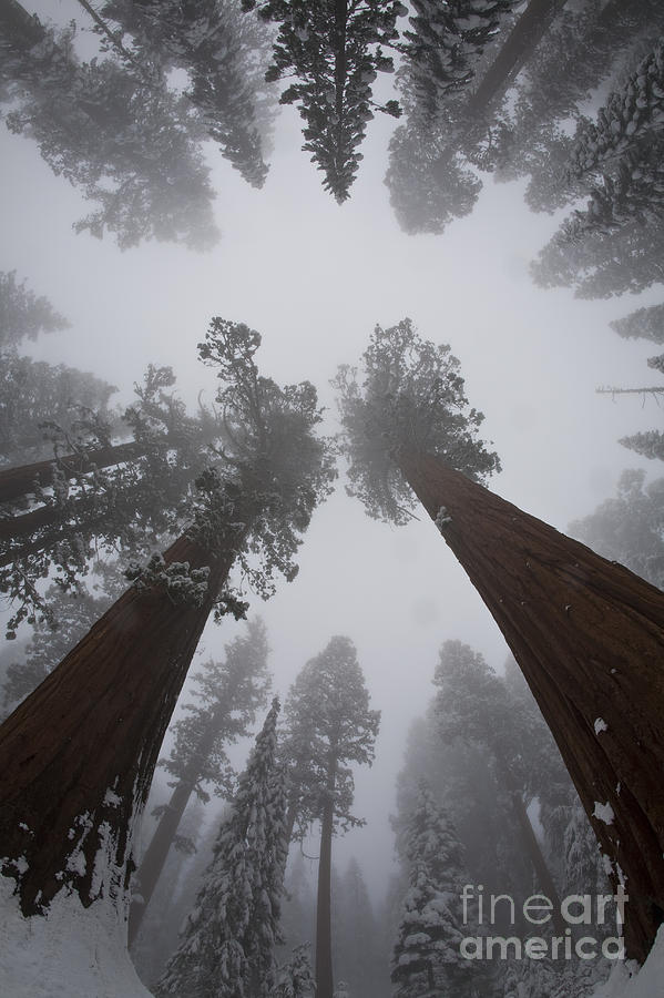 Giant Sequoia Photograph - Giant Sequoias by Gregory G. Dimijian, M.D.