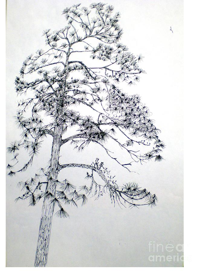 Giant Silver Pine Tree Drawing by Hal Newhouser