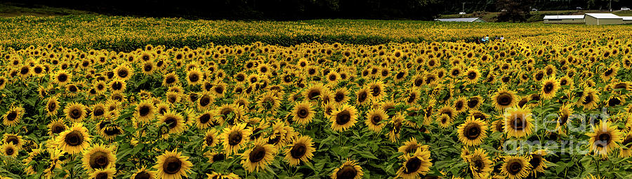 Giant Sunflower Panorama by Barbara Bowen