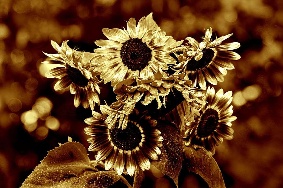 Sunflower Photograph - Giant Sunflowers by Kathleen Stephens