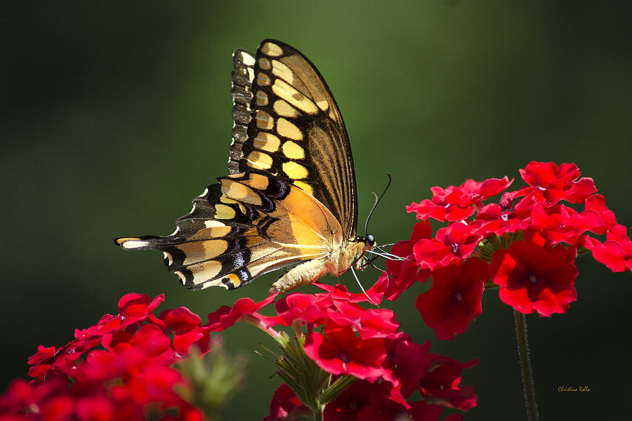 Giant Swallowtail Butterfly Photograph - Giant Swallowtail Butterfly by Christina Rollo