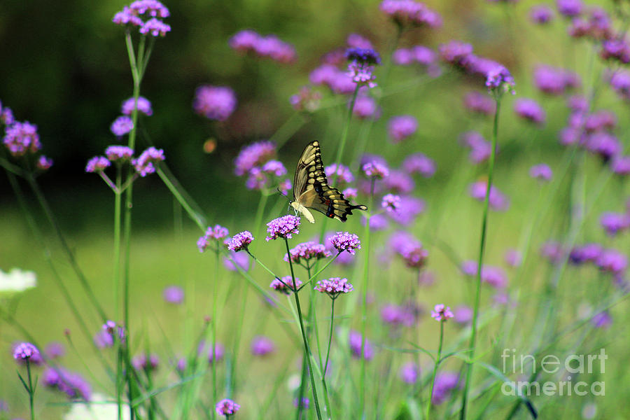 Animal Photograph - Giant Swallowtail Butterfly In Purple Field by Karen Adams