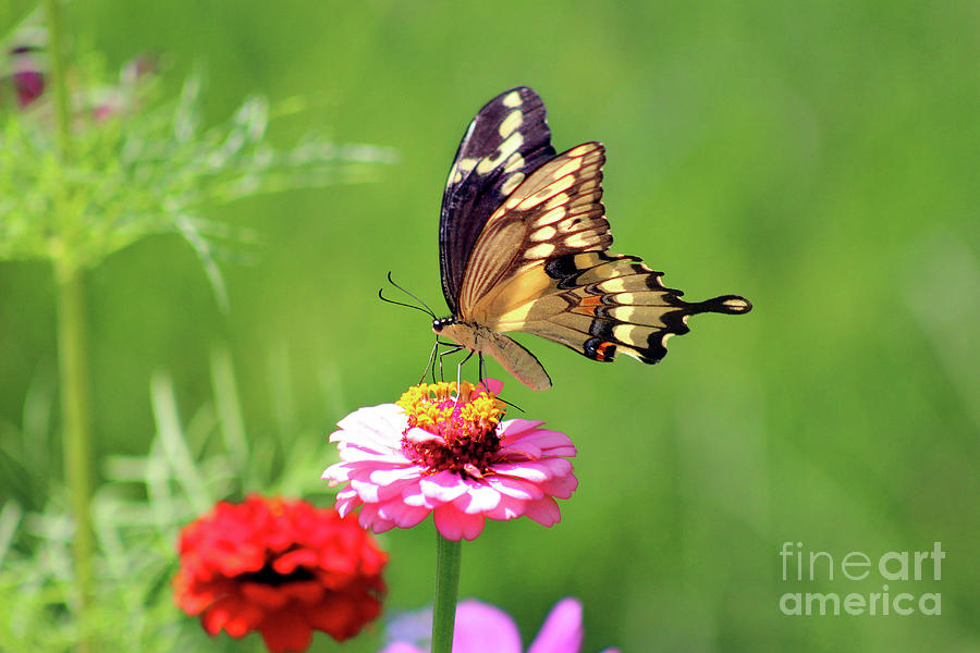 Giant Swallowtail Butterfly Photograph - Giant Swallowtail Butterfly On Pink Zinnia by Karen Adams