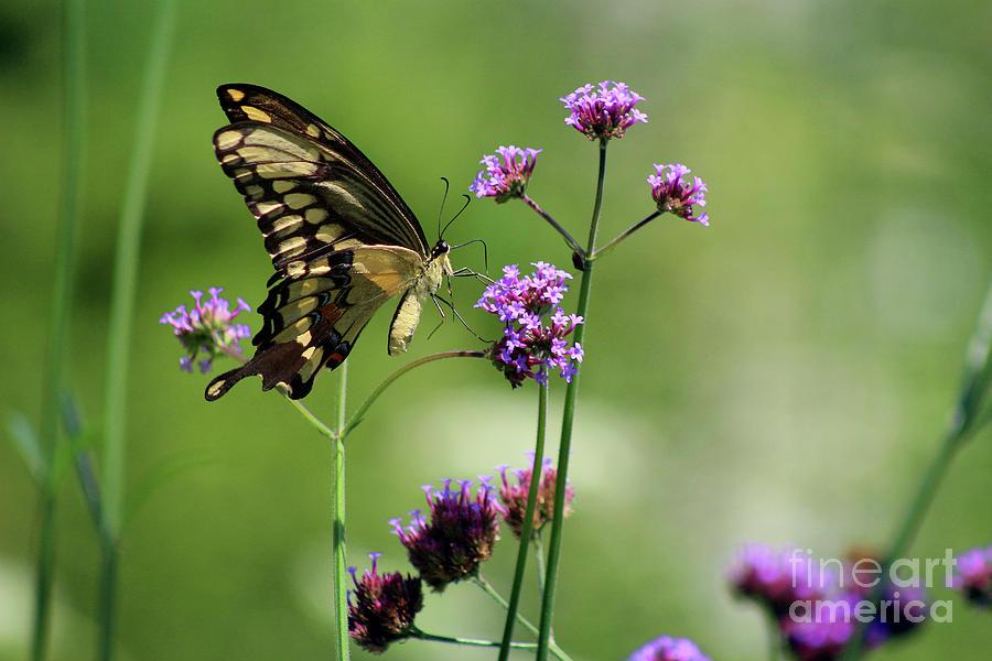 Animal Photograph - Giant Swallowtail Butterfly On Verbena by Karen Adams