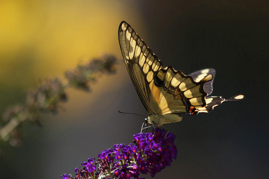 Butterfly Photograph - Giant Swallowtail by Rhoda Gerig