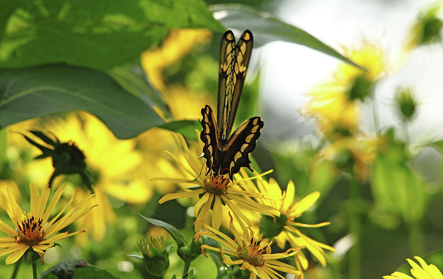 Giant Swallowtail Photograph - Giant Swallowtail Wings Folded by Debbie Oppermann