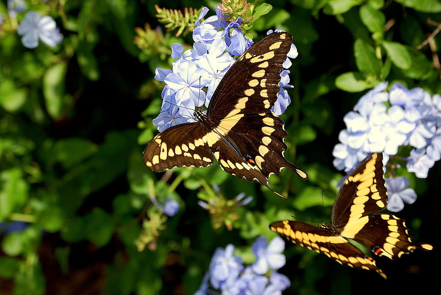 Butterflies Photograph - Giant Swallowtails by Steven Scott