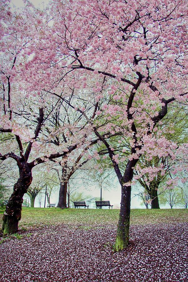 Cherry Blossoms Photograph - Gifts by Mitch Cat