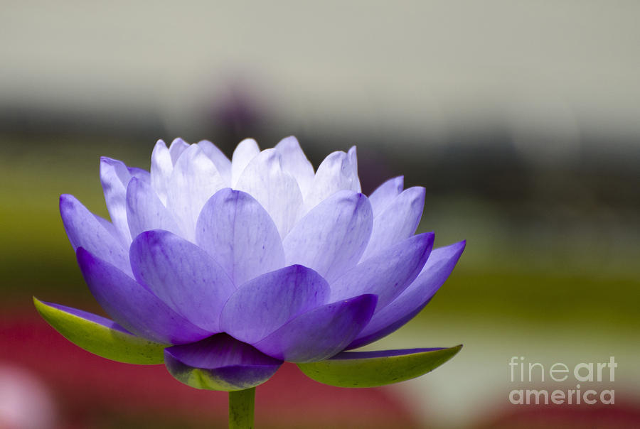 Lily Photograph - Gigantea Blue Cloud Water Lily by Terri Winkler