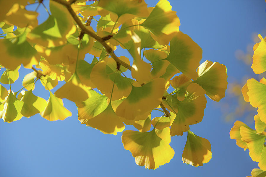 Gingko Leaves by Melodie Douglas