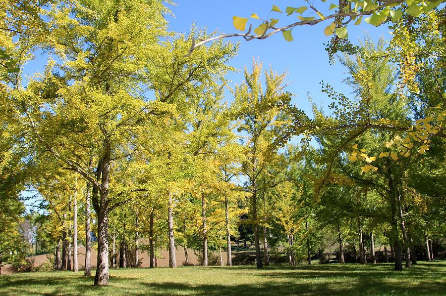 Ginkgo Grove in the Fall 3 by Wendy S Beatty