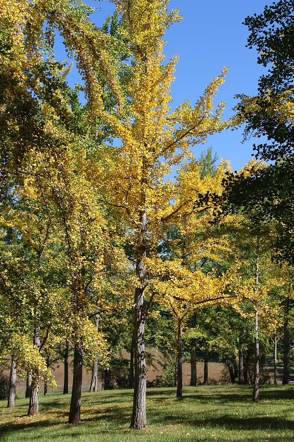 Ginkgo in the Fall Portrait by Wendy S Beatty