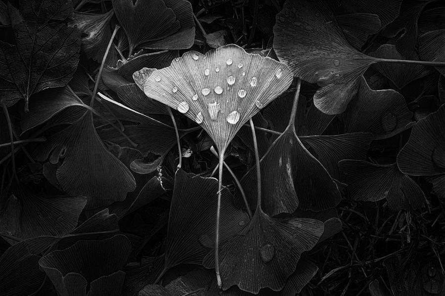 Leaf Photograph - Ginkgo by Scott Norris