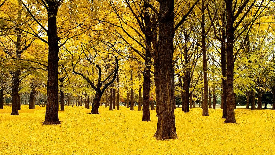 Ginkgo Trees In Autumn by Movie Poster Prints