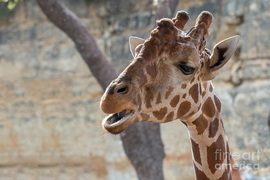 Usa Photograph - Girafe Head About To Grab Food by PorqueNo Studios