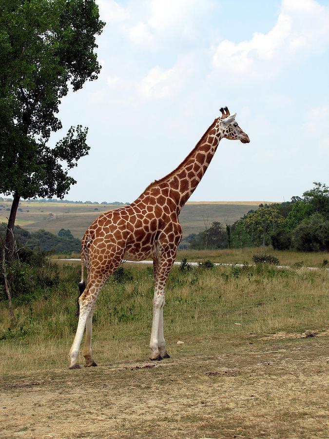 Giraffe Photograph - Giraffe 3 by George Jones