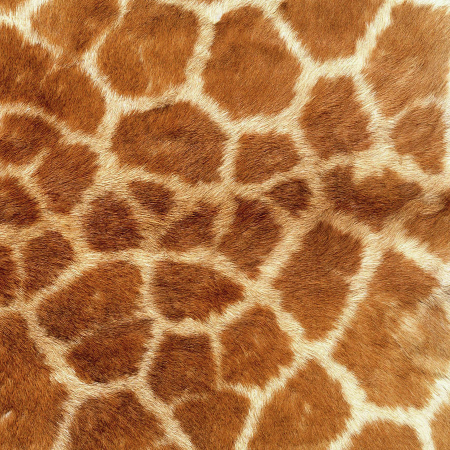 Giraffe Animal Textures Photograph By Naomi Hargrave