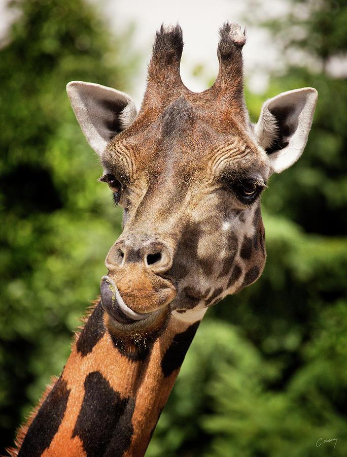 Giraffe Photograph - Giraffe  by Christina Conway