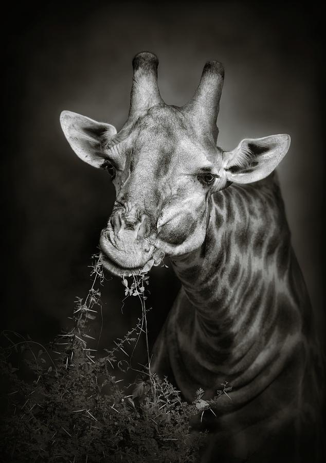 Giraffe Eating Photograph