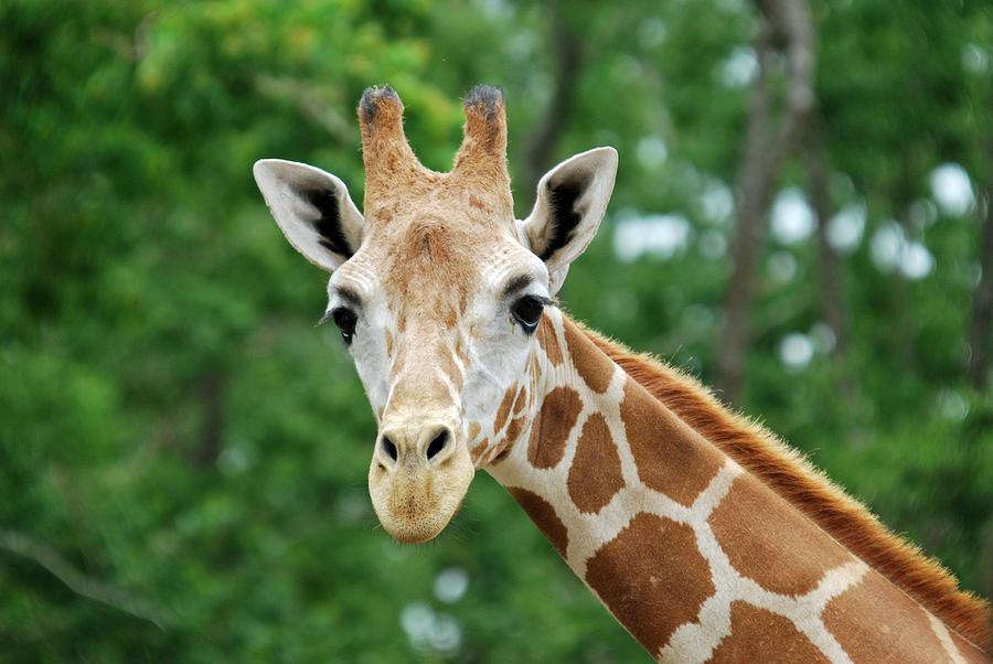 Giraffe Face Photograph By Teresa Blanton