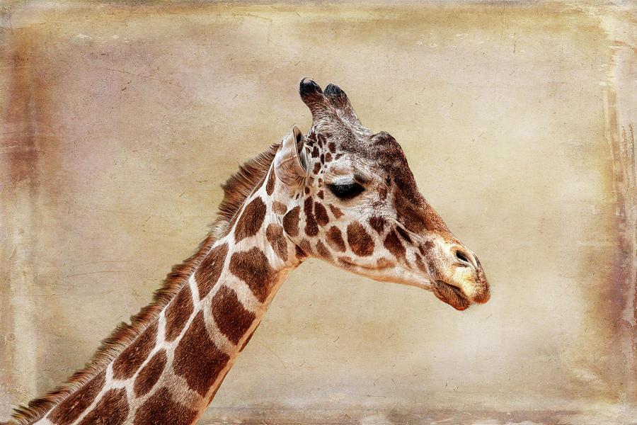 Giraffe Photograph - Giraffe Portrait With Texture by Judy Vincent