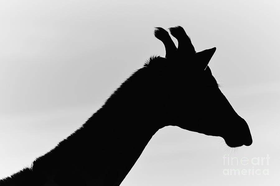 Giraffe In Monochrome Photograph
