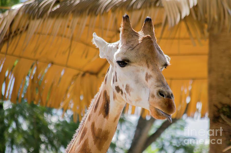 Giraffe Photograph - Giraffe In The Zoo. by Cesar Padilla