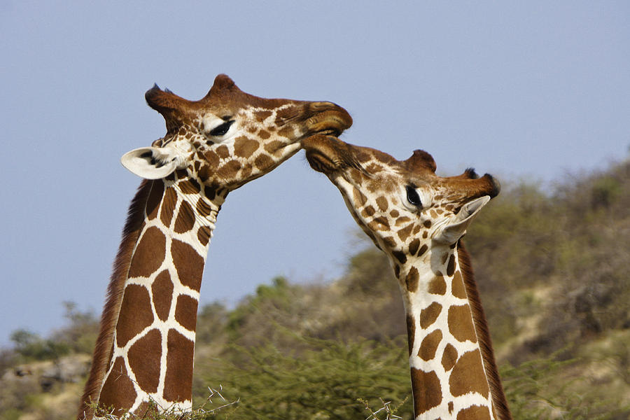 Africa Photograph - Giraffe Kisses by Michele Burgess