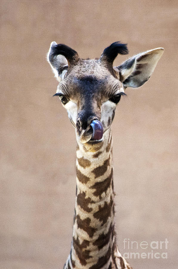 Giraffe Lick by Lula Adams
